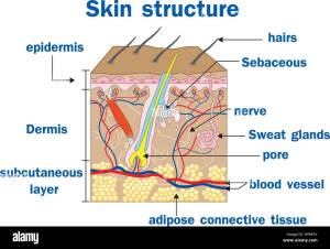 Vector illustration of Skin structure Stock Vector Art