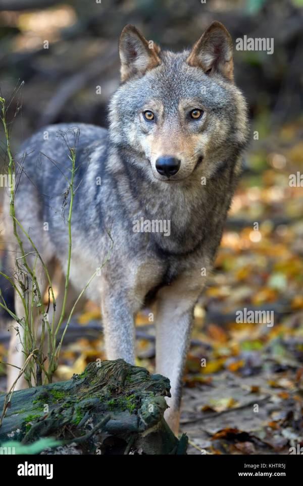 Timber Wolf Stock Photos Timber Wolf Stock Images Alamy