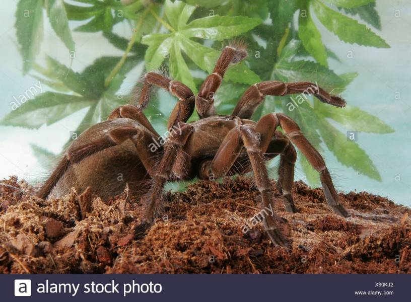 goliath bird eating spider   Theraphosa blondi Stock Photo     goliath bird eating spider   Theraphosa blondi