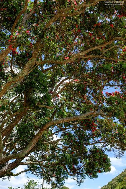 Nowa Zelandia - Christmas Tree