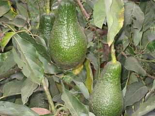 Improved avocado varieties introduced by Africa RISING