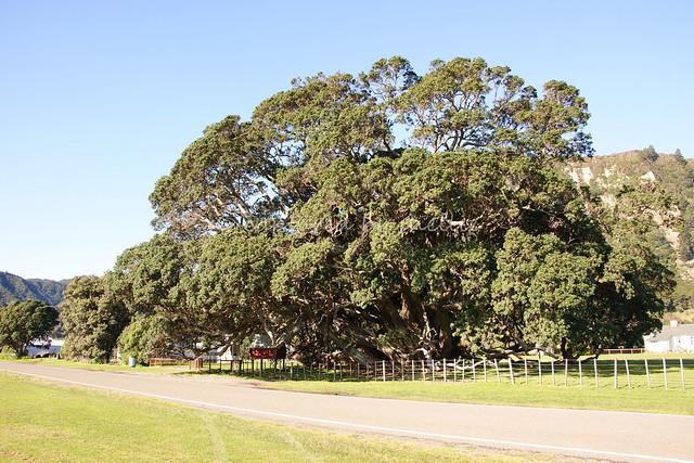 Te Waha o Rerekohu, NZ's largest pohutukawa tree