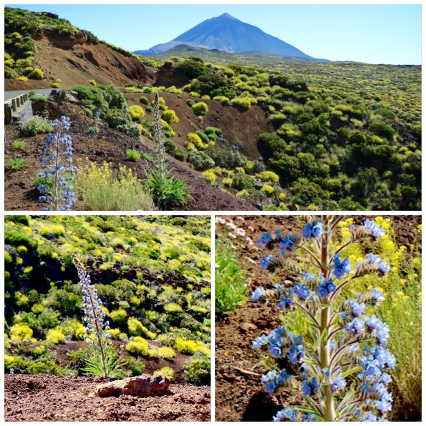 Tajinaste Picante Teide