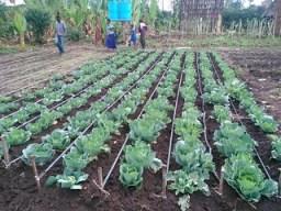 Drip irrigation in Lemo (Photo credit: ILRI/Z.Lema)