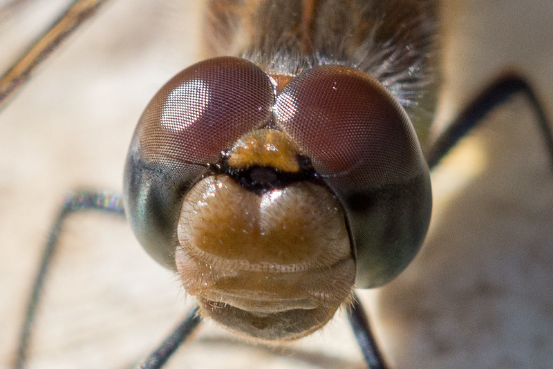 The amazing compound eyes of a Common Darter