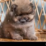 Sad Puppy Cute Puppy Of Miniature Pomeranian Spitz Zwergspitz Or Dwarf Spitz On A Chair Small Dog Is Two Month Old Stock Photo Alamy