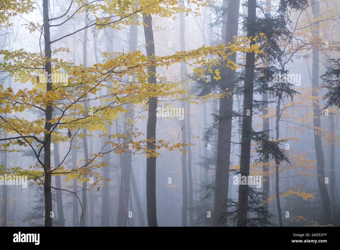 Here are woodland photos from my photography blog. Mysterious Dark Beech Forest In Fog Autumn Morning In The Misty Woods Magical Foggy Atmosphere Landscape Photography Stock Photo Alamy