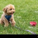 Golden Doodle Puppy Dog Scientific Name Canis Lupus Familiaris Stock Photo Alamy