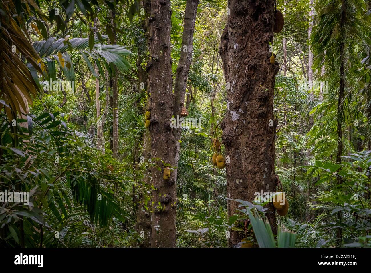 rainforest can be classified as tropical rainforest or temperate rainforest, but other types have been described. Old Ancient Old Trees With Giant Fruits In The Jungle Rainforest Background Stock Photo Alamy