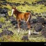 Horse In Easter Island Field Stock Photo Alamy