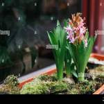 Pink Hyacinths Grow In Pot On Street By Cafe Restaurant Entrance Spring Flowers Decoration Exterior Design Stock Photo Alamy
