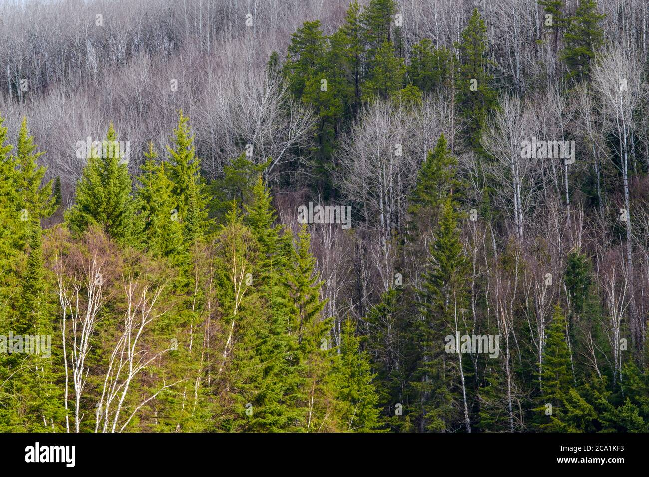 It is the result of original ethnobotanical fieldwork in 29 communities across the boreal forest region of manitoba, saskatchewan, and alberta. Boreal Forest In Early Spring Timmins Ontario Canada Stock Photo Alamy
