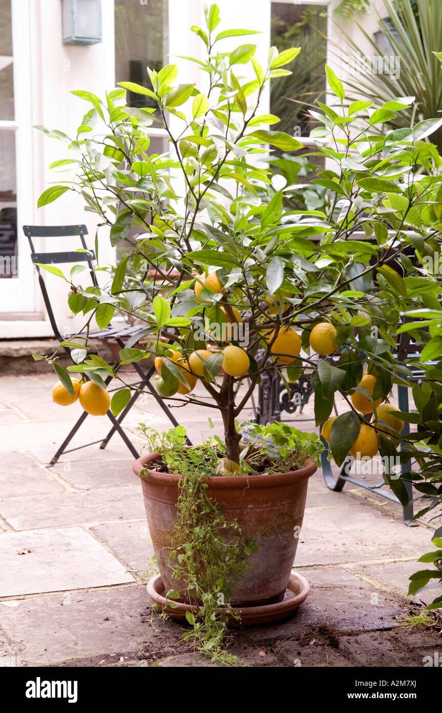 https www alamy com stock photo potted lemon tree on stone patio 10552169 html