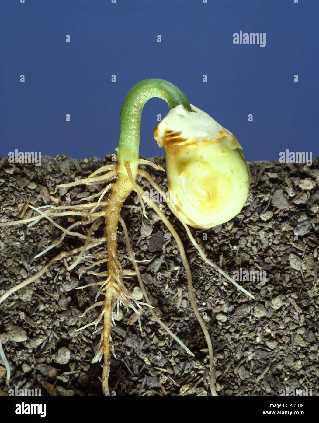Lima Bean Germination Showing Emerging Cotyledons From