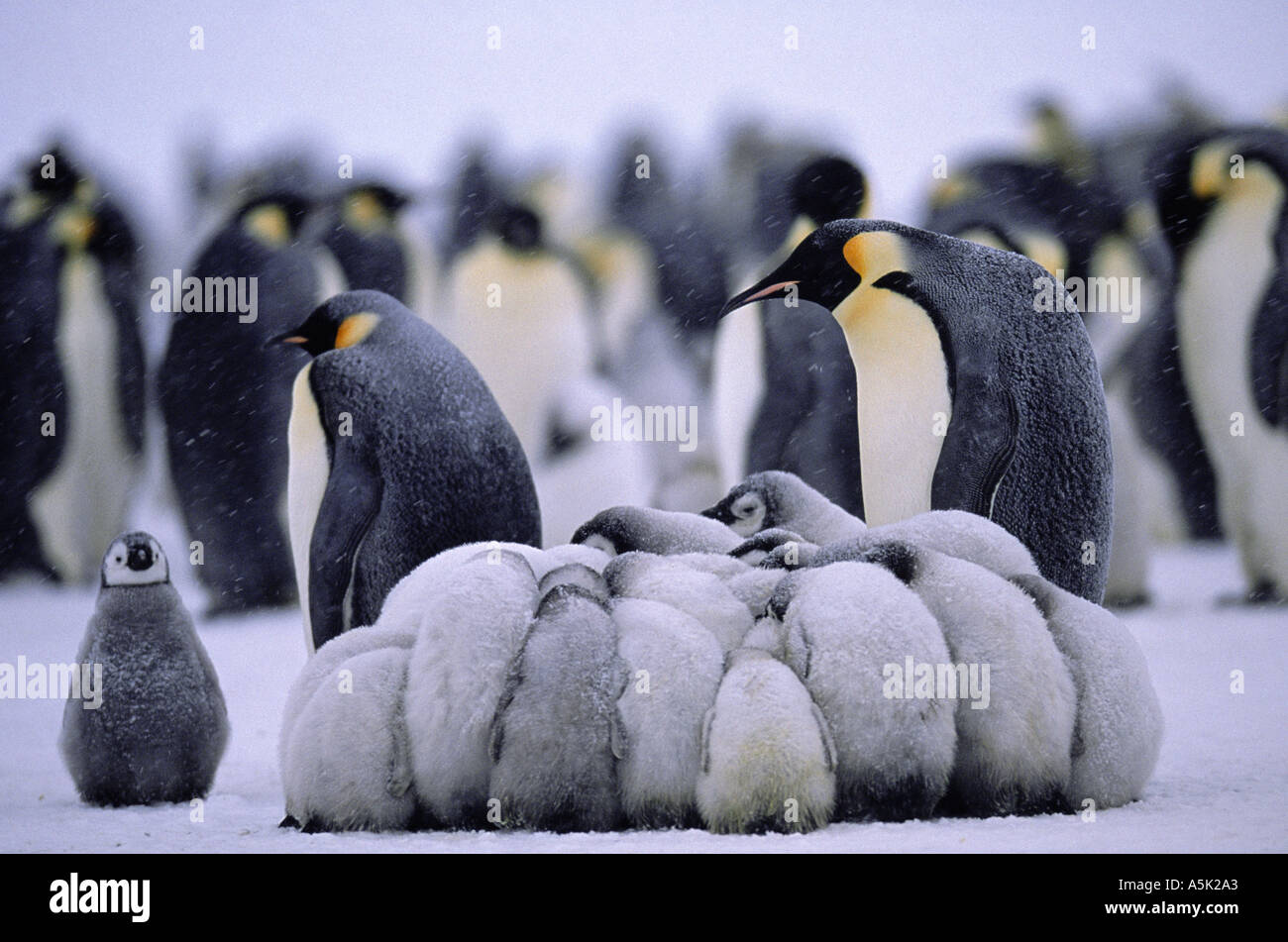 Emperor Penguin Aptenodytes Forsteri Young Gathered In
