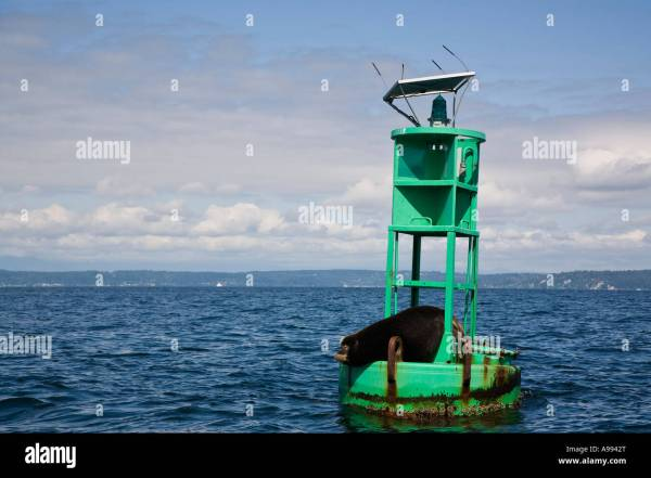Sea lion lying on green channel marker buoy marking left ...