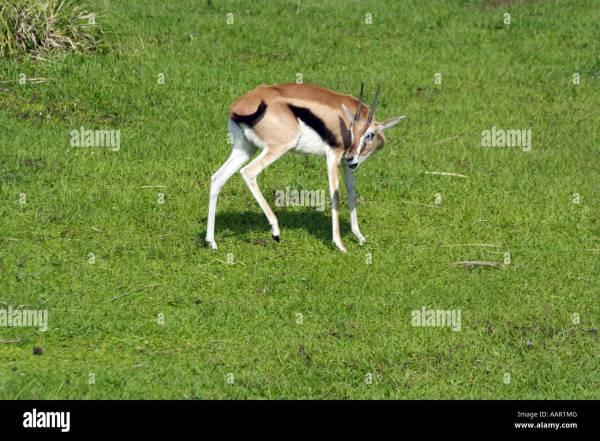 Thomsons Gazelle Stock Photos & Thomsons Gazelle Stock Images - Alamy