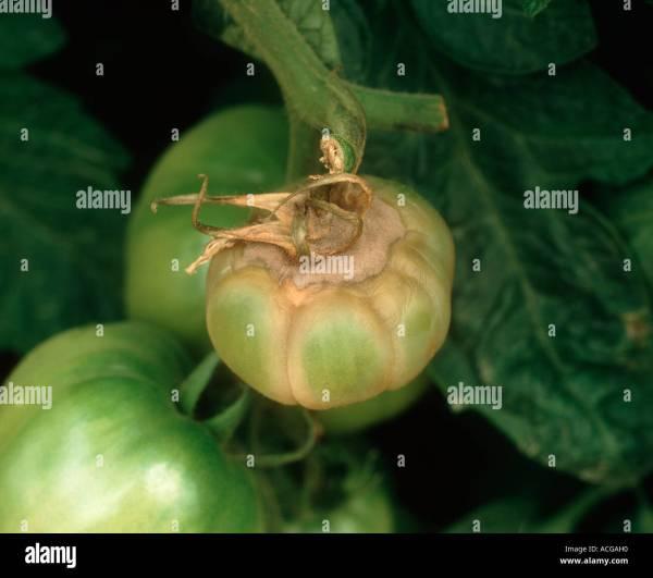 botrytis on tomato factsheet cornell university - HD1300×1152