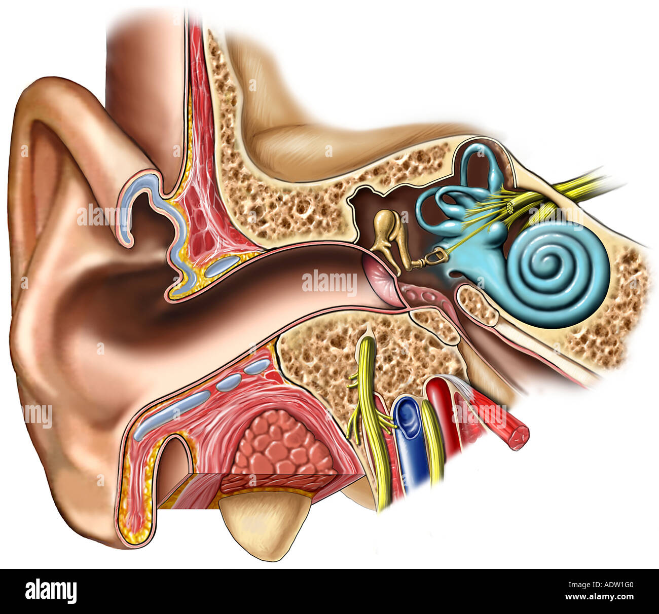 Anatomy Of The Right Ear Cross Section Stock Photo