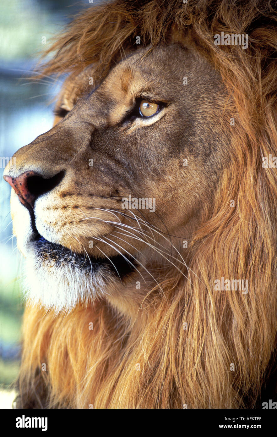 Ml2 49 Intent Male Lion Face Stock Photo Alamy