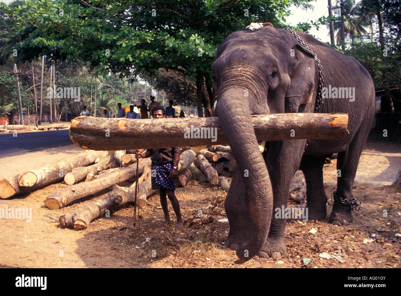 Elephant Working Lifting Timber Kerala Village Life South