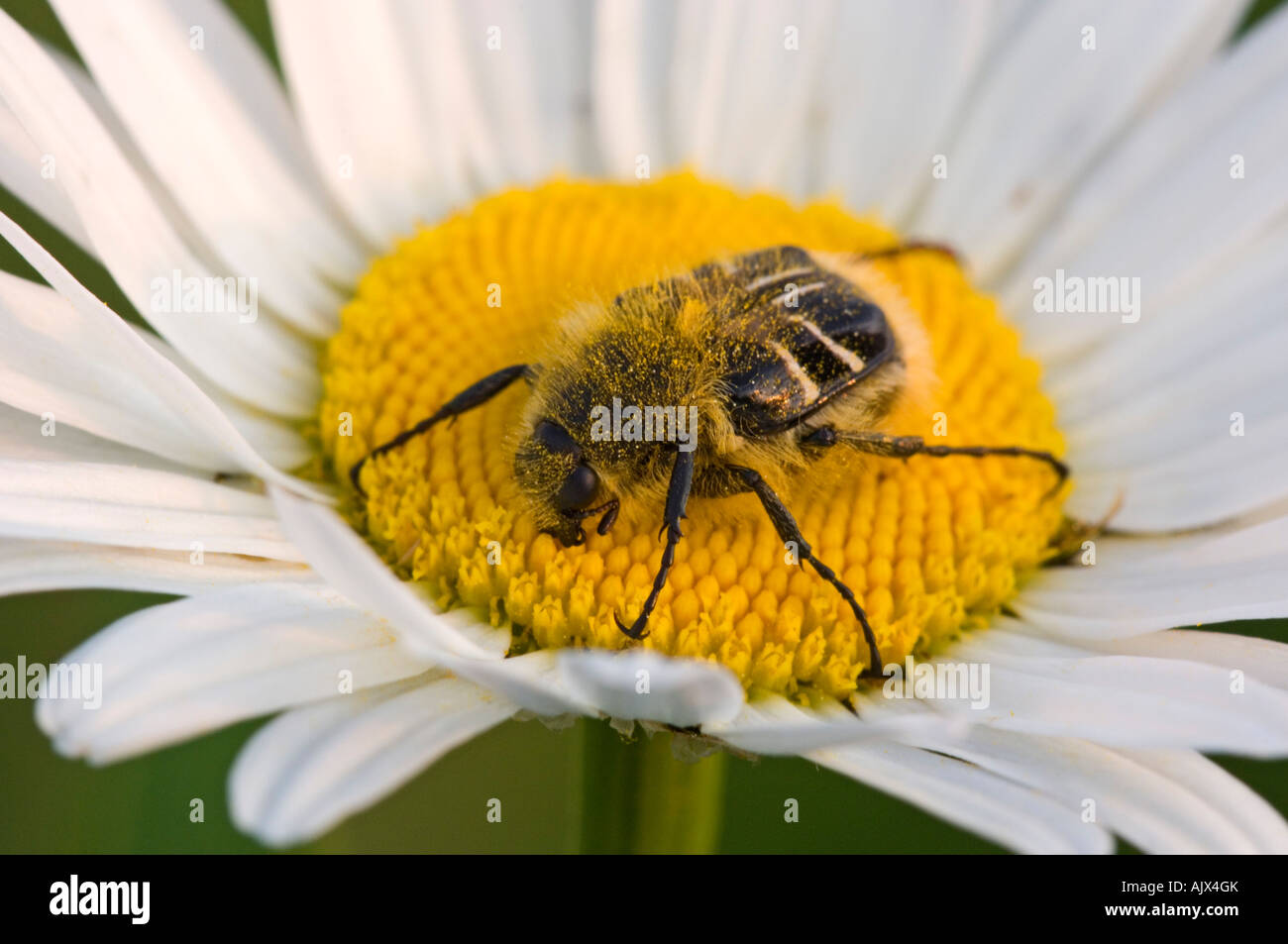 Common Daisy Flower With Pollinating Beetle Hairy Flower