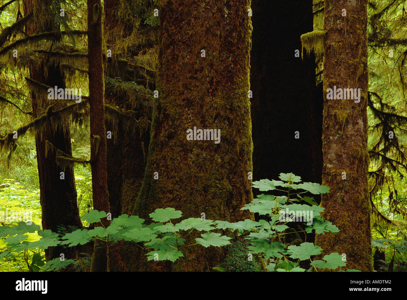british columbia supreme court is scheduled to hear four civil applications in. Old Growth Forest Clayoquot Sound British Columbia Canada Stock Photo Alamy