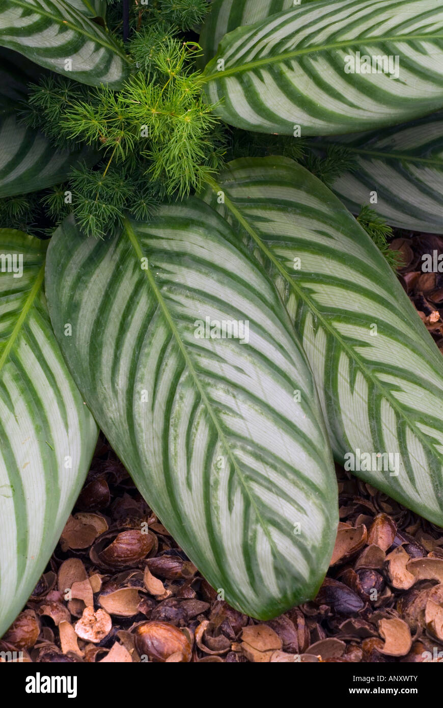 Best Kitchen Gallery: Houseplant Ctenanthe Setosa Aka Calathea Striped Marantha Tropical of Tropical Foliage Houseplants on rachelxblog.com
