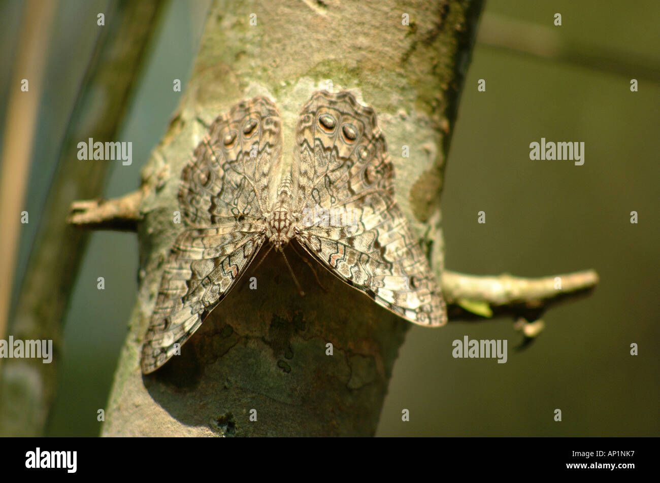 Butterfly Moth Animal Nature Mimicry Camouflage Stock