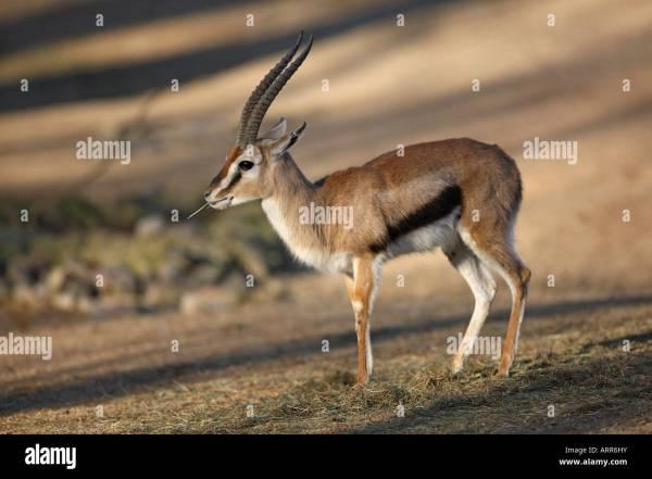 Thomson's Gazelle Eating - Gazella Thomsoni Stock Photo, Royalty Free Image: 16111862 - Alamy
