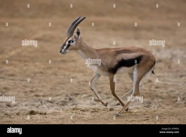 Thomson's Gazelle Running Stock Photos & Thomson's Gazelle Running Stock Images - Alamy