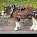 Clydesdale Horse Lanarkshire Scotland A Horse Harness Or Tack Stock Photo Alamy