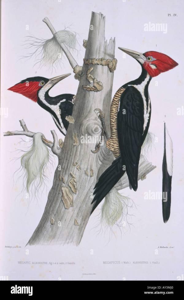 welcome ivorybilled woodpecker - HD1068×1600