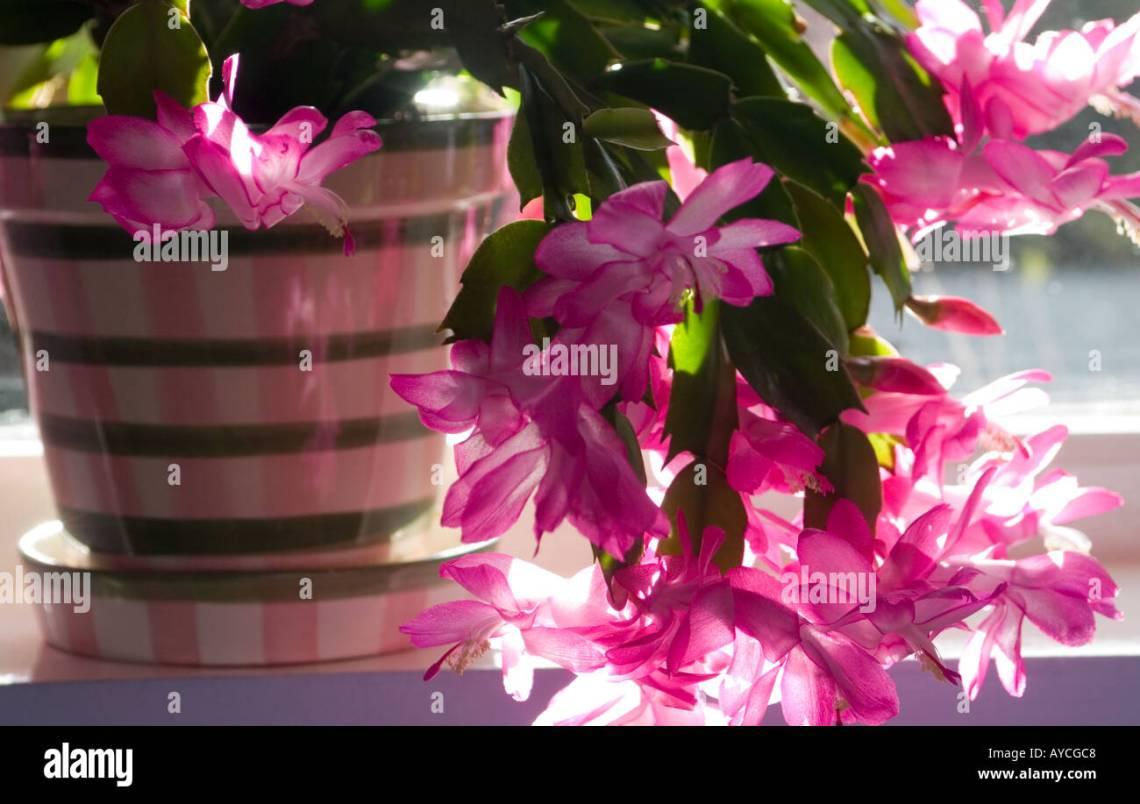 Image Result For Christmas Cactus Pollen Allergy