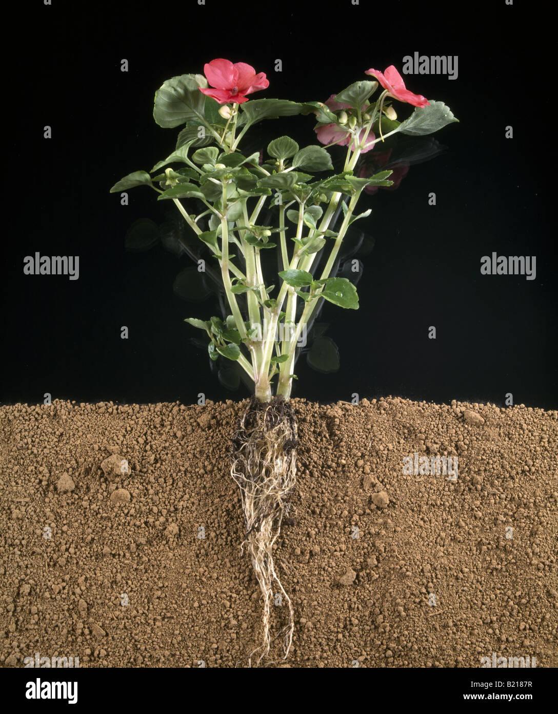 Impatiens Impatiens Sp Shows Roots Stem Leaves And Flowers