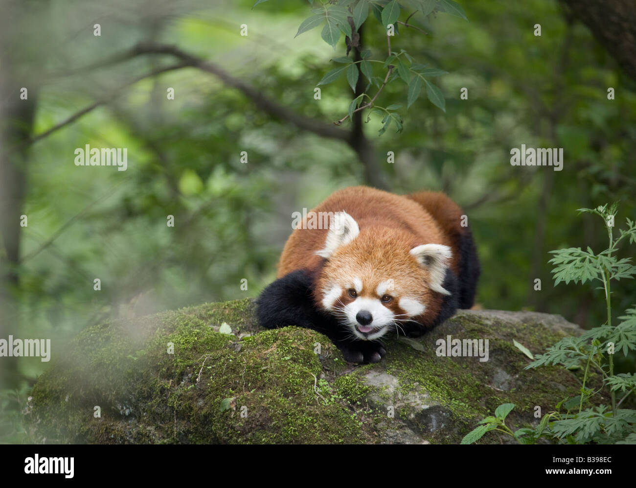 In many species of animals and plants occupying within narrow elevational ranges. Red Panda Ailurus Fulgens In Wolong Nature Reserve Montane Forest China Stock Photo Alamy