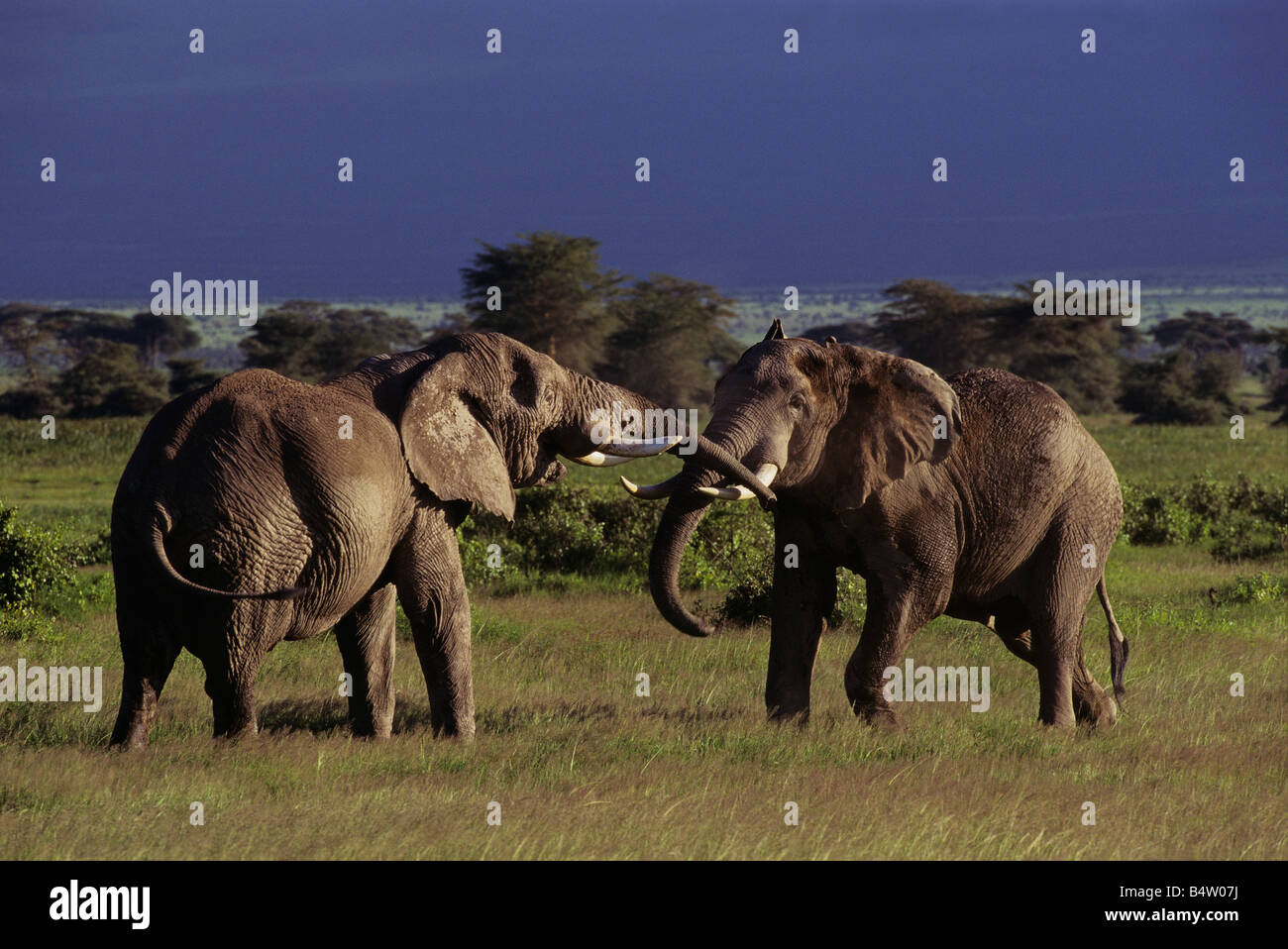 big elephant fight stock photo, royalty free image: 20218006 - alamy