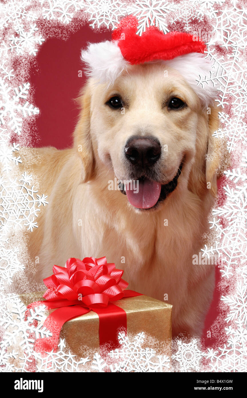 Golden Retriever Christmas Card Stock Photo Royalty Free