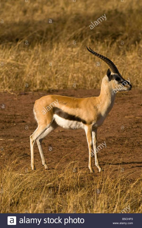 Serengeti Gazelle Stock Photos & Serengeti Gazelle Stock ...