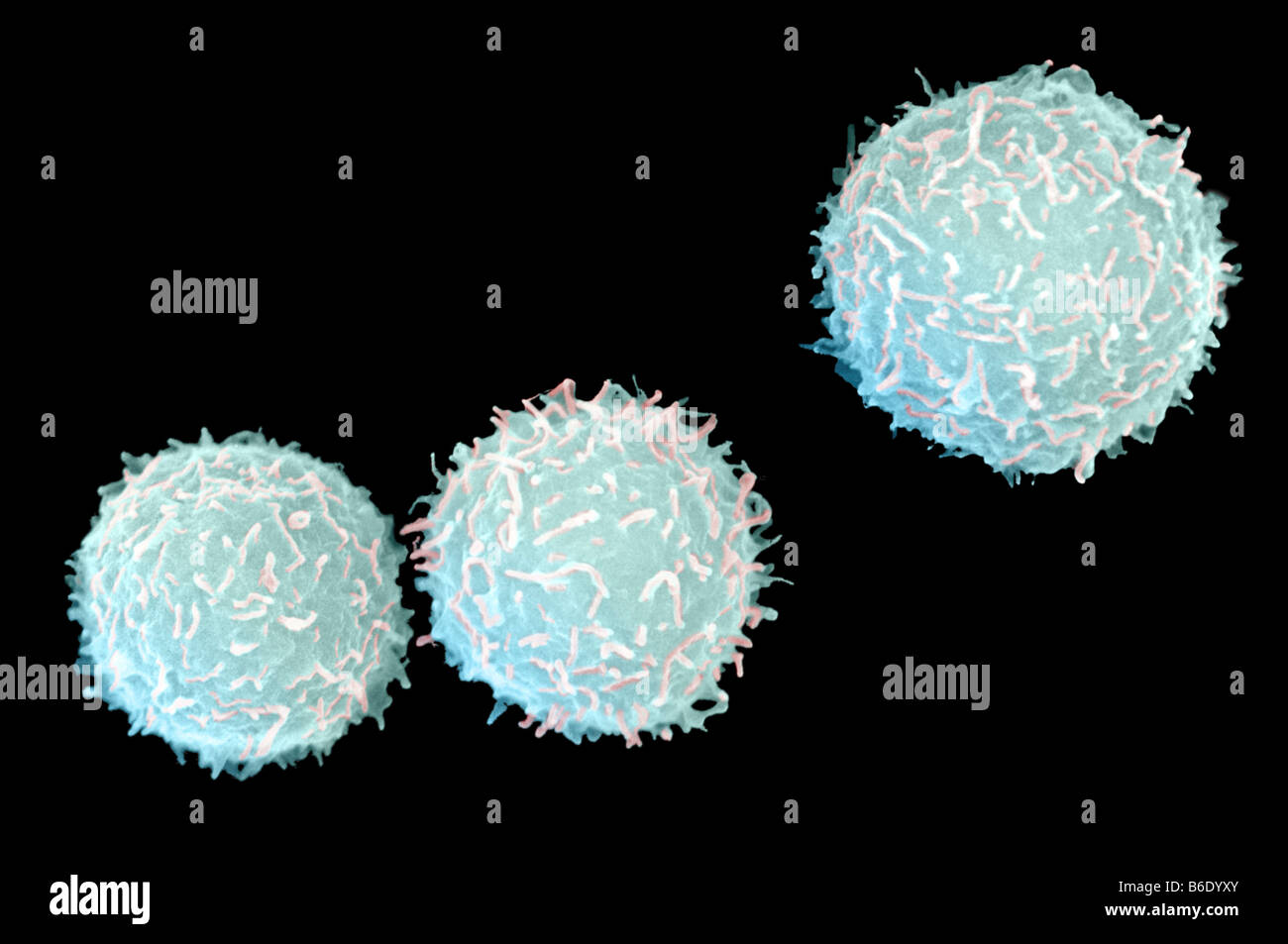 Myeloid White Blood Cells Coloured Scanning Electron
