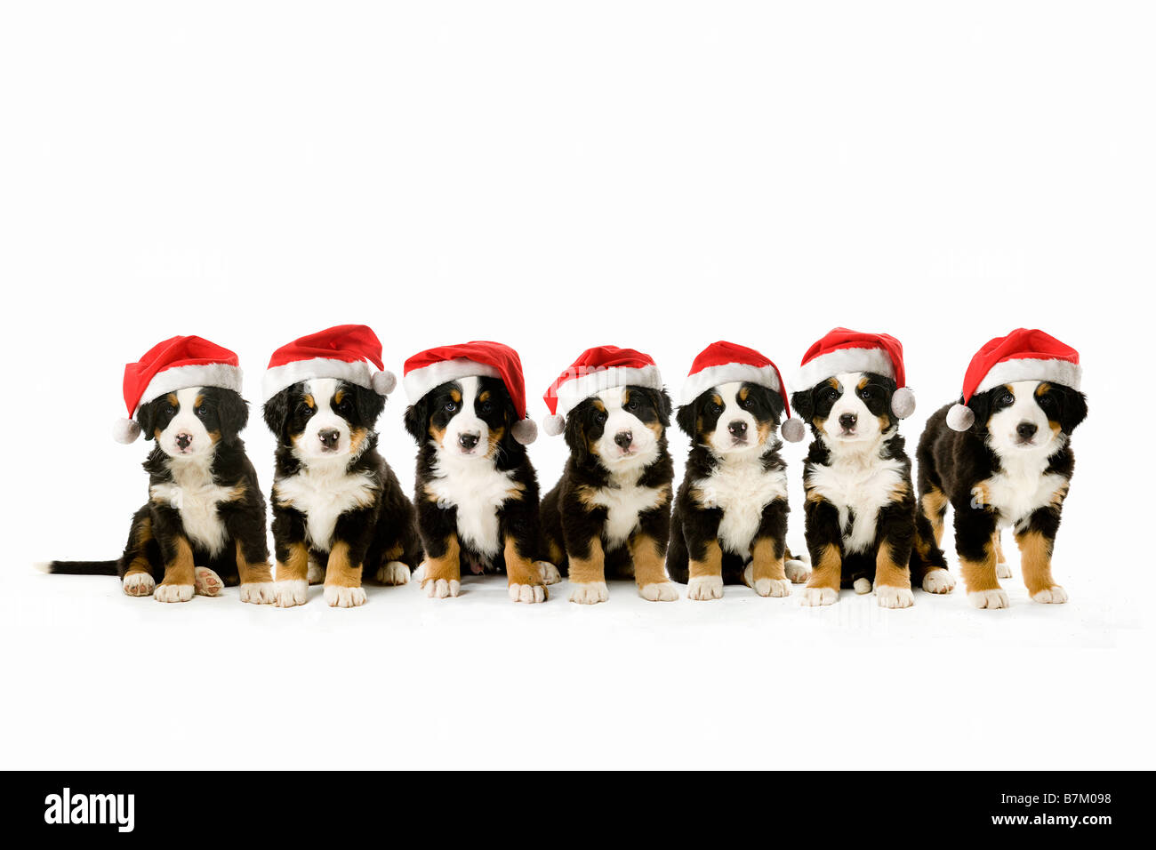 Seven Brothers And Sisters Cute Festive Bernese Mountain