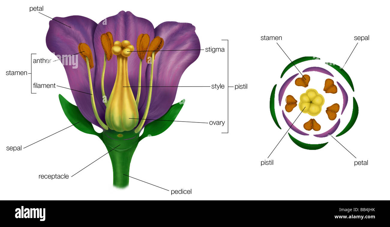 Hibiscus Flower Labeled Diagram