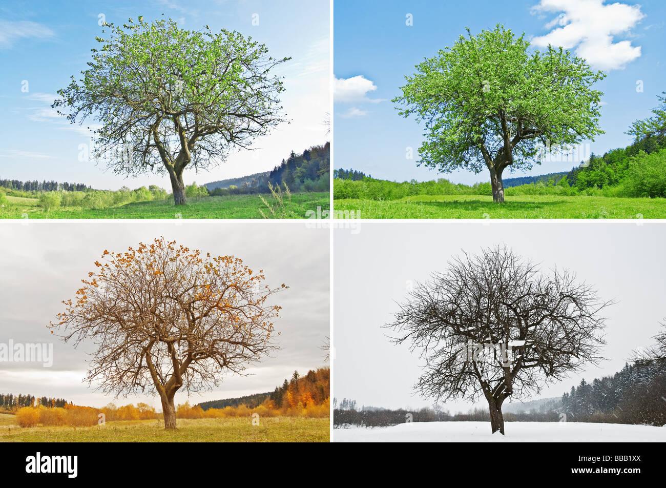 Four Seasons Tree Stock Photo Royalty Free Image
