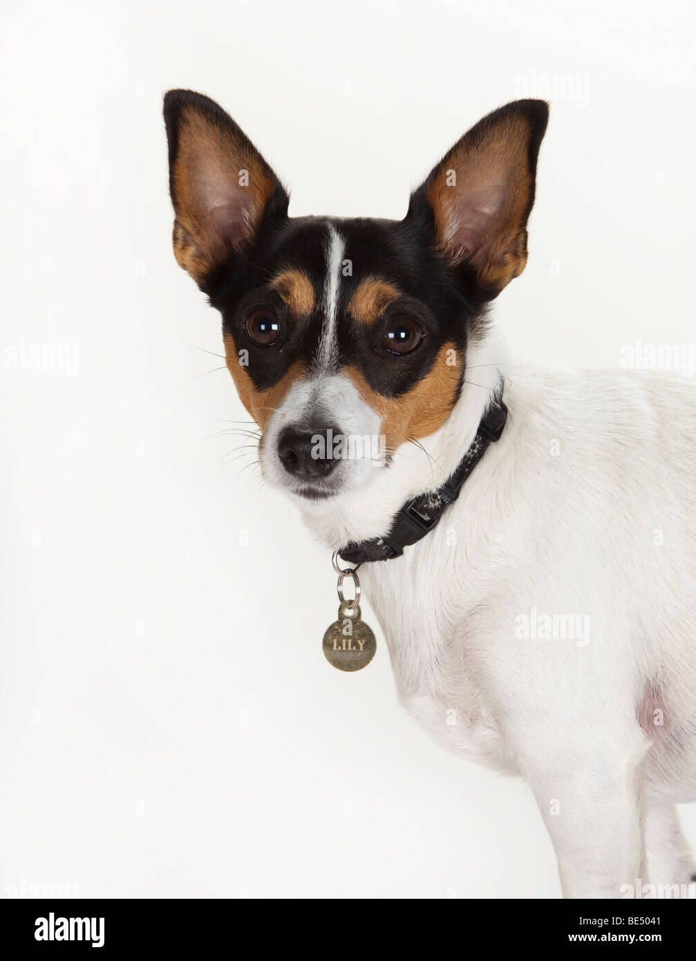 Jack Russell Terrier Female Pet Dog Bitch Ears Pricked Up