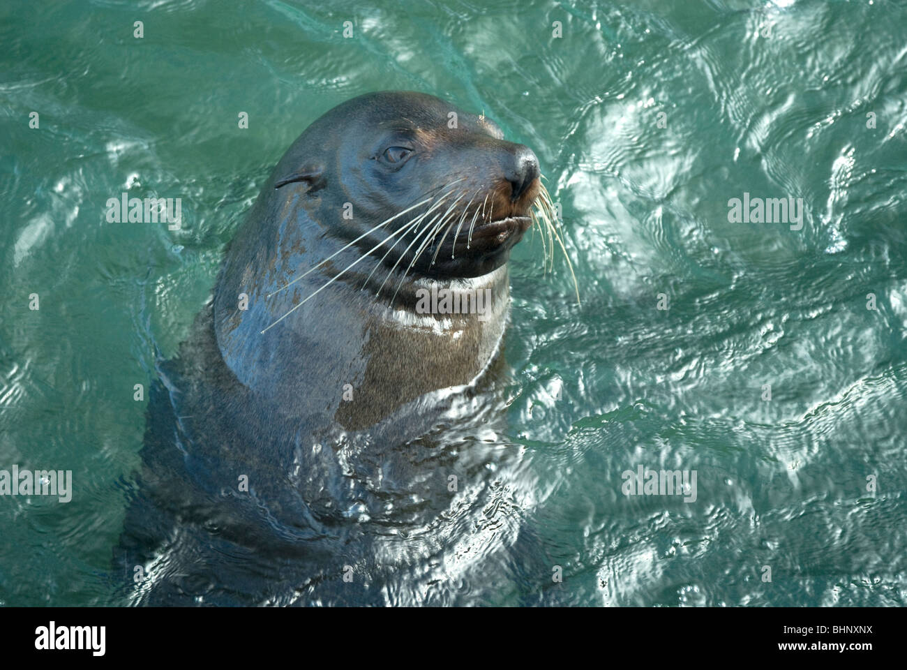 Australian Fur Seal Swimming Cape Jervis South Australia