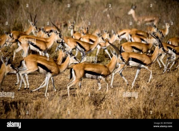 Thomson's Gazelle Stock Photos & Thomson's Gazelle Stock ...