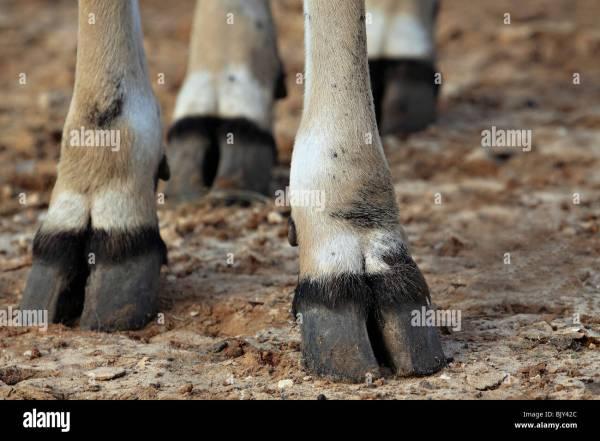 THOMSON'S GAZELLE Gazella thomsoni close up of the feet and hooves Stock Photo: 28870084 - Alamy