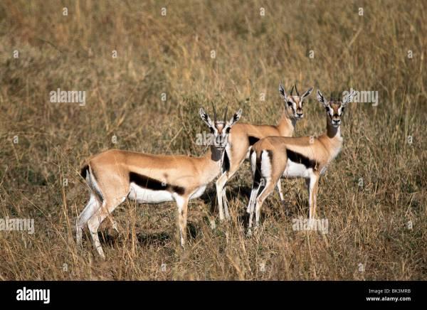 Thomson's Gazelles in the Serengeti National Park ...