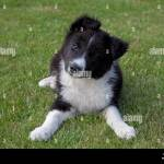 Black And White Border Collie Sheep Dog Puppy Cotswolds Uk Stock Photo Alamy