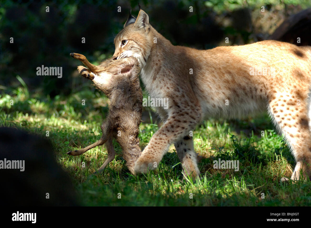 Eurasian Lynx Lynx Lynx Animal Animals Cat Summer Cub Young Mother Stock Photo